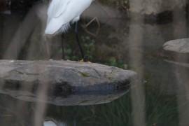 中白鹭在杭州属于夏候鸟