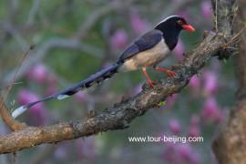 杭州长桥公园红嘴蓝鹊