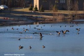 加拿大黑雁让小湖生机勃勃