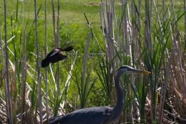 大蓝鹭与美洲红翼鸫